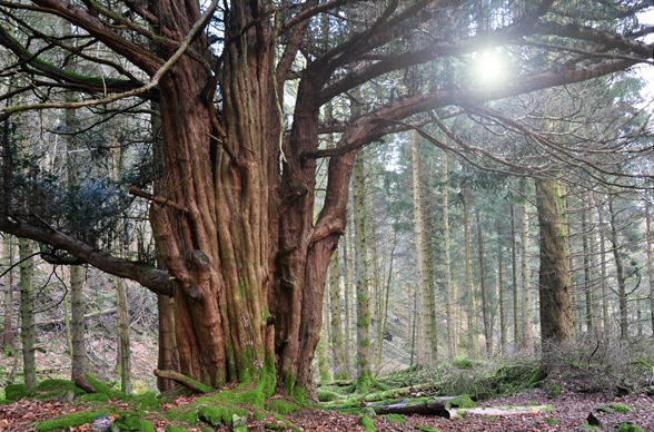 Great Nott Wood yew tree